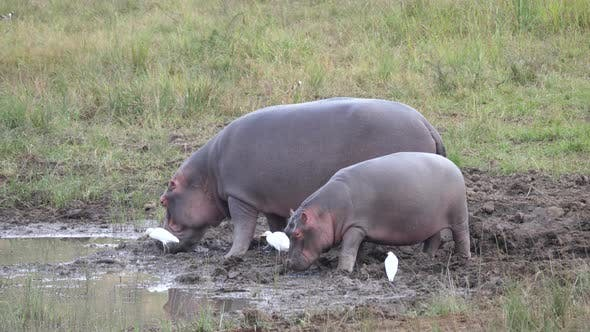 Mother and baby hippo eating near a waterpool