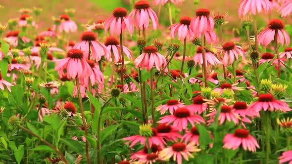 Thumbnail for Echinacea Flower on the Field