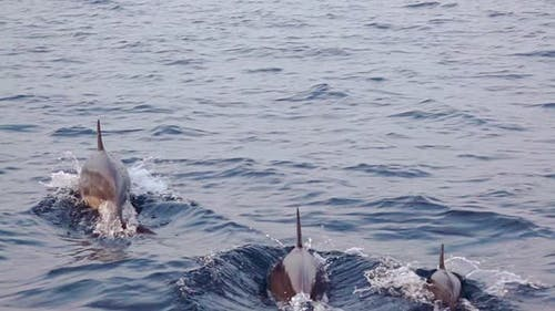 Family of Dolphins Jumping near a Boat