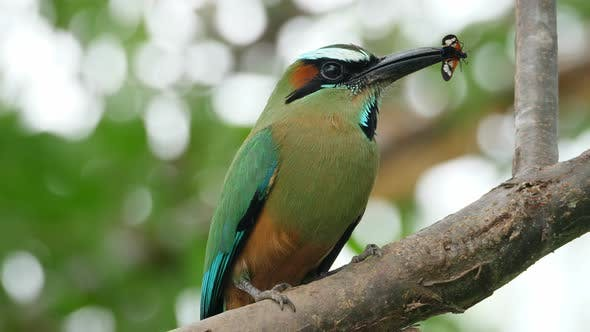 Thumbnail for Colorful Motmot Bird with a Butterfly in its Beak in the Forest Woodland