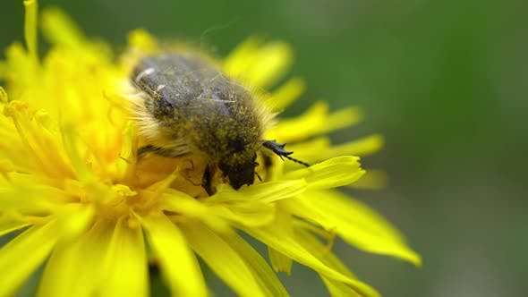 Thumbnail for Beetle Gathers Pollen On Yellow Dandelion 2