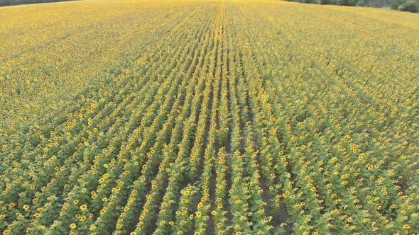 Aerial Drone View of Sunflowers Field. Rows of Sunflowers on a Hill