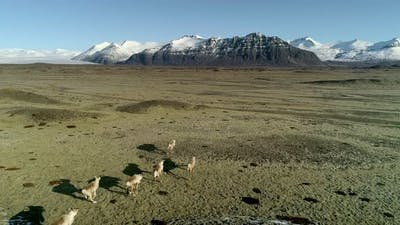 Icelandic Reindeers Running By the Mossy Hills in Iceland
