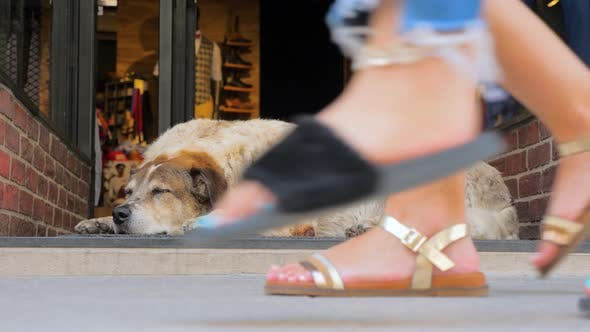 Cover Image for Dog in the City. Dog Sleeping Near Shop Door While Passers-by Are in a Hurry. The Vanity of Life