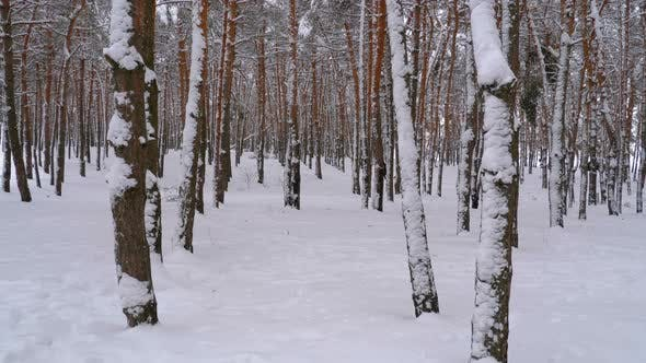Thumbnail for Flying Through the Winter Pines Forest