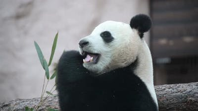 The Young Panda Eats, the Animal Eats the Green Shoots of Bamboo.