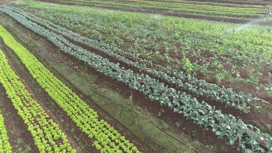 Thumbnail for Aerial images of lettuce and other crops