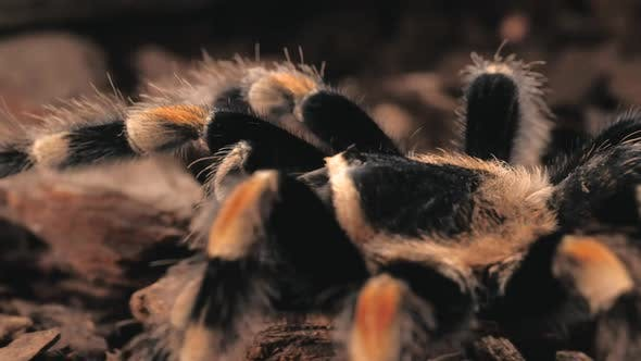 Thumbnail for Tarantula Walking, Close Up