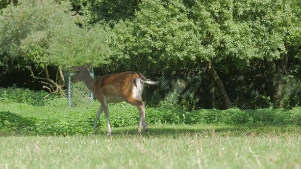 Thumbnail for Deer Animal Looking For Food