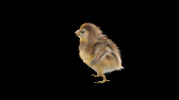 21 Baby Chicks Dancing HD