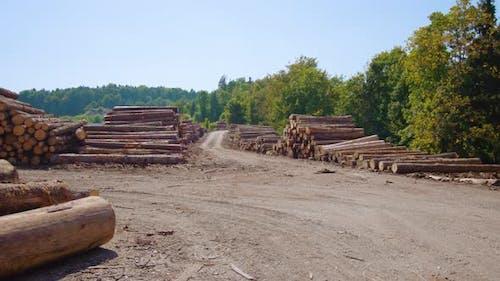 Huge Piles of Pine Logs Lie in Industrial Sawmill Yard