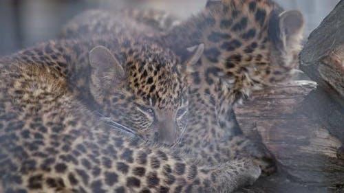 Wenig Gepard In Gefangenschaft