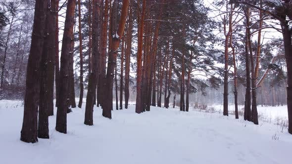 Thumbnail for Backward Fly in Winter Pine Forest
