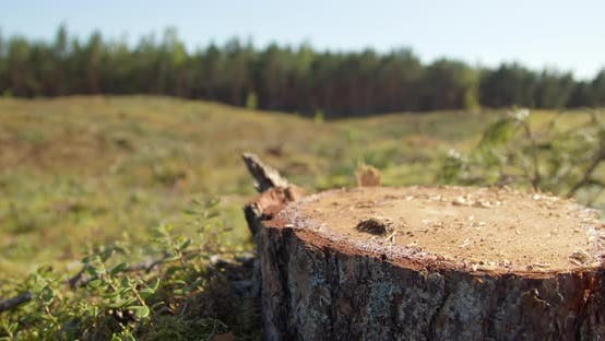 Thumbnail for Cut Down Forest Tree on Deforestaton Area Dolly Shot