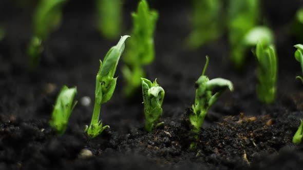 Thumbnail for Growing Plants in Timelapse, Sprouts Germination Newborn Plant