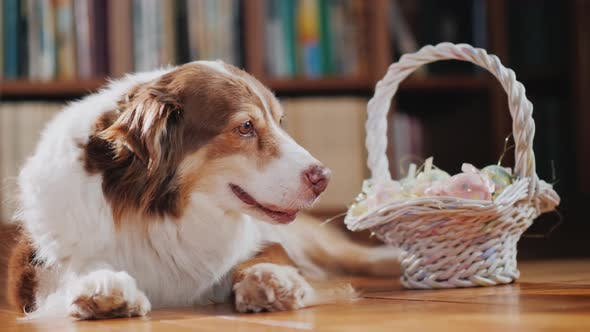 Thumbnail for The Dog Lies on the Floor Near the Basket with Easter Decorations