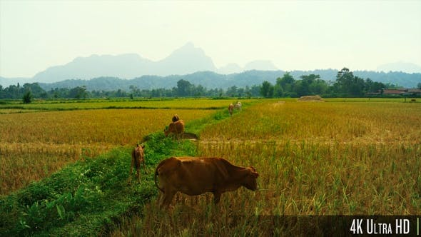 Thumbnail for 4K Cattle cow Grazing in Field in Southeast Asia
