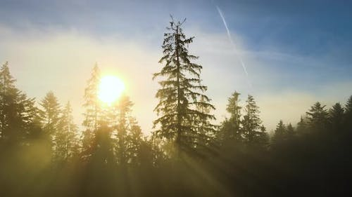 Aerial view of dark green pine trees in spruce forest with sunrise rays shining through branches