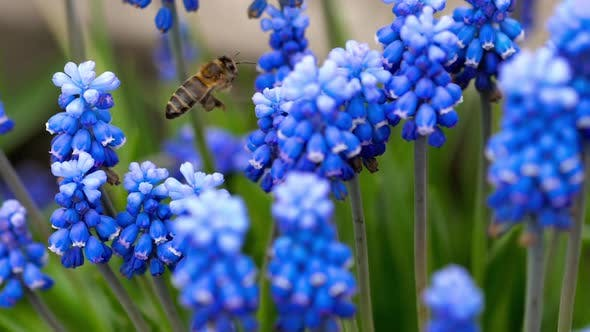 Thumbnail for Bee Flying Near Muscari Flower