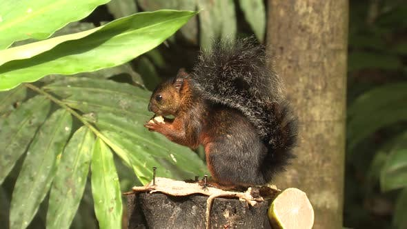 Thumbnail for Variegated Squirrel Adult Lone Eating Feeding Banana Feeding Station