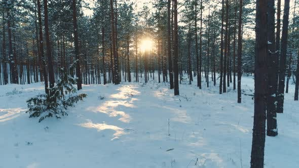 Thumbnail for Winter Forest Moving Back Between Trees