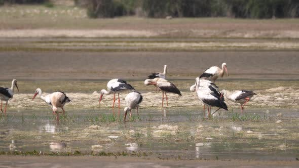 Thumbnail for Group of Storks in A Lake in Morocco