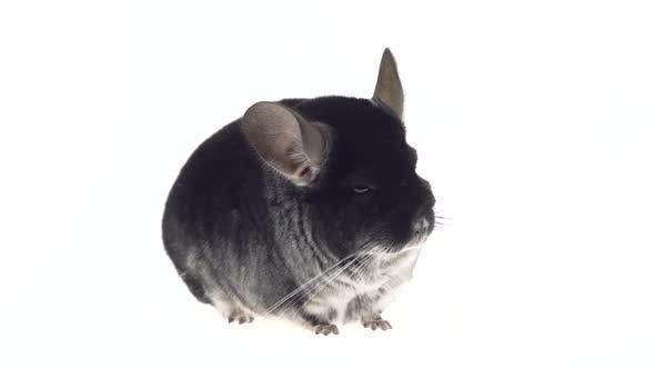 Thumbnail for Wide Full Body Side View of a Cute Grey Chinchilla Isolated on a White Studio Background