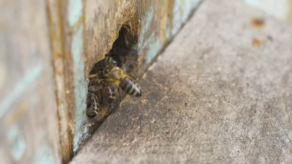 Thumbnail for Honey Bees Fly Into a Hole in the Hive and Carry Collected Pollen on Their Legs.