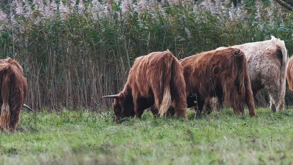 Herd Of Highland Cattle (Bos taurus Taurus) Grazing Grass On The Green Pasture