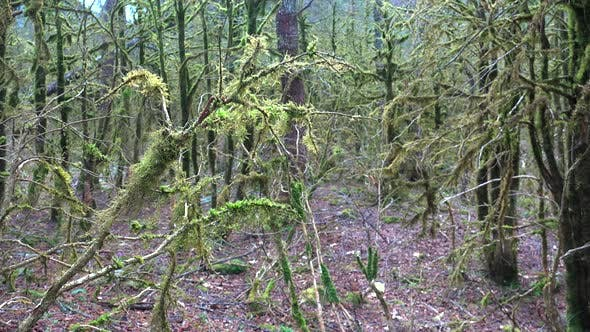 Leafless Tree Branches in a Enigmatic Forest Completely Covered With Moss