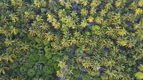 Green Coconut Trees Neatly Aligned.