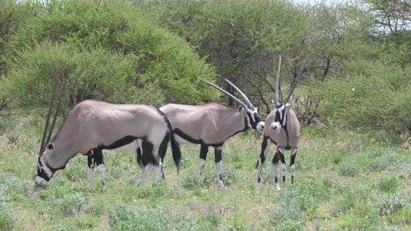 Thumbnail for Close up from a herd of gemsbok grazing