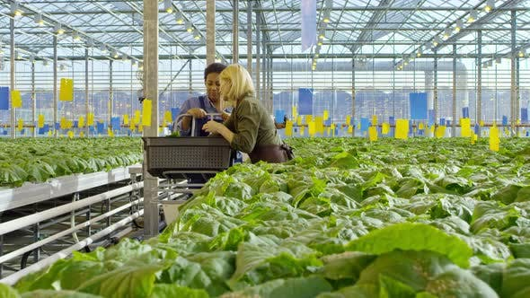 Cover Image for Greenhouse Employees Working