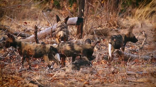 Thumbnail for African wild dog in Kruger National park, South Africa