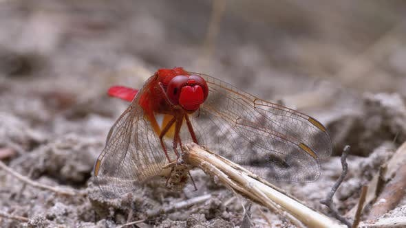 Red Dragonfly Macro. Dragonfly Sitting on the Sand at a Branch of the River.