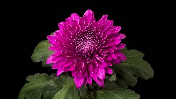 Beautiful Purple Chrysanthemum Flower Opening