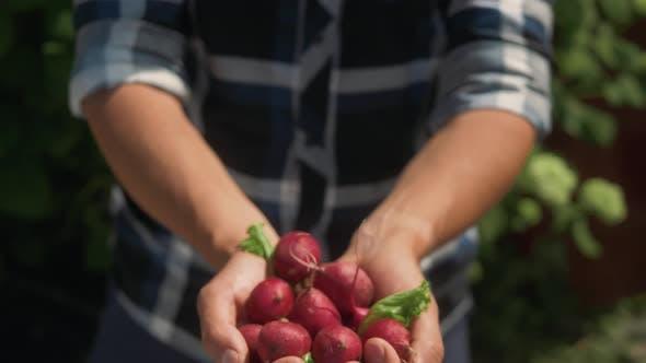 Thumbnail for Organic Fresh Harvested Vegetables. Farmer`s Hands Holding Fresh Radish, Closeup