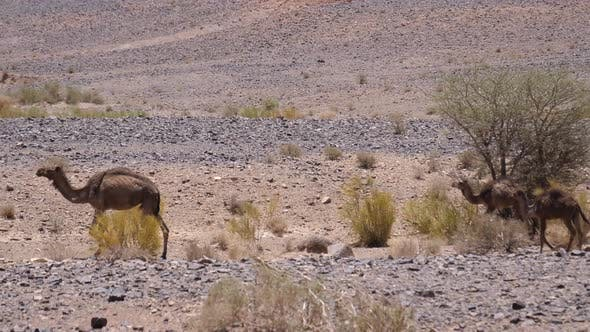 Thumbnail for Herd wild dromedary camels around Ait Zeggane