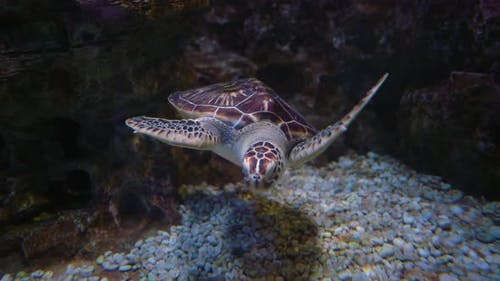 Green Sea Turtle (Chelonia Mydas), Also Known As the Green Turtle