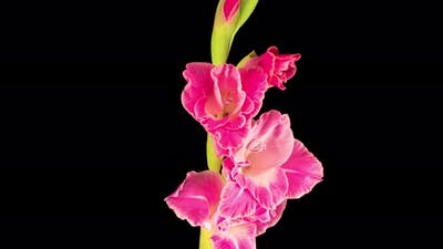Time lapse of Opening Pink Gladiolus Flower