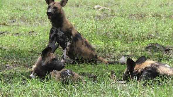 Thumbnail for African wild dog makes place for the other at the water puddle
