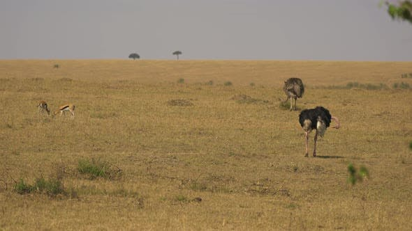 Thumbnail for Male and female ostriches near two Thomson's gazelles