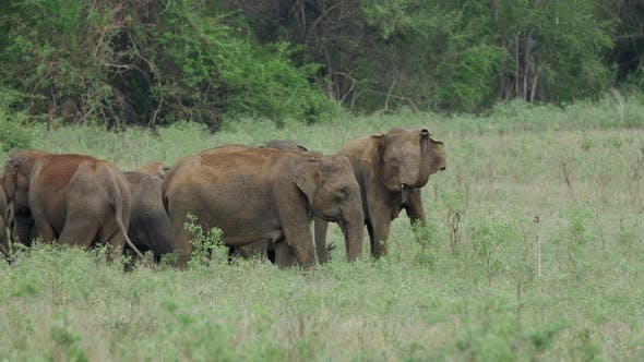 Thumbnail for Herd of Asian elephant with baby elephants