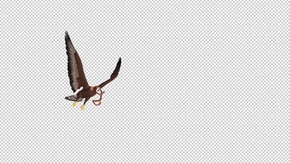 Golden Eagle With Snake - Flying Transition - IV