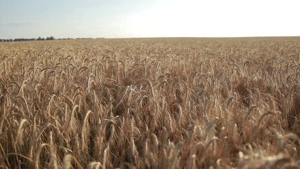 Thumbnail for Yellow Spikes of Wheat Ready for Harvest in Field