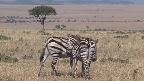 Thumbnail for Paar Zebras zu Fuß weg
