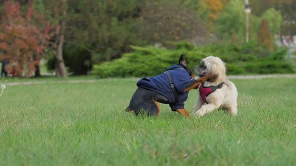 Adorable Shih Tzu Dog with Doberman Puppy Have Fun on Grass