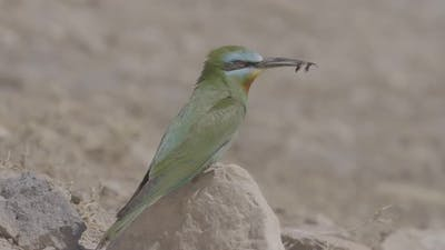 Green Bee-eater With Insect