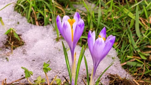 Snow Melting and Crocus Flower Blooming in Green Meadow Spring Time lapse