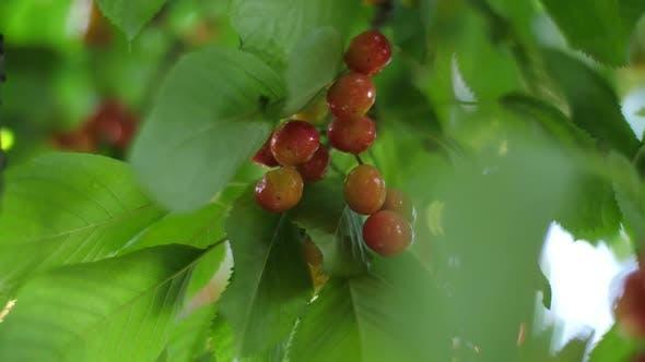 Sweet Cherries on a Branch in a Garden